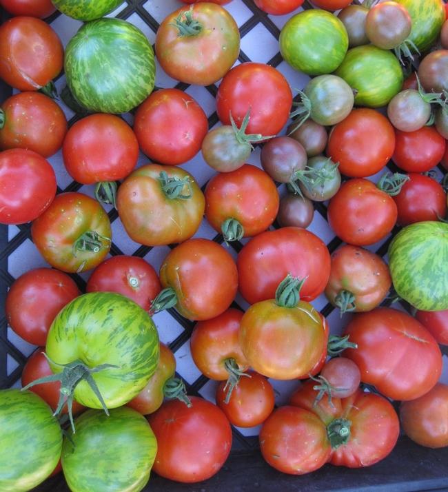 ConnollyTomatoes