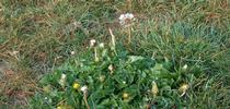 dandelion1 for Napa Master Gardener Column Blog