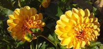 GW Calhoun Moon dahlia for Napa Master Gardener Column Blog