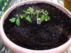 Blog, tomato in pot