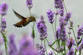 Blog, lavender