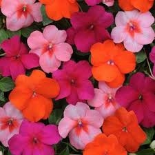 Blog, pink and coral impatiens