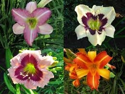 Blog, day lilies 2