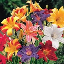 Blog, day lilies 3