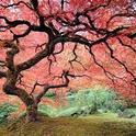 Blog, Japanese maple, green