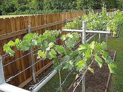 Как сделать виноградник своими руками из трубы