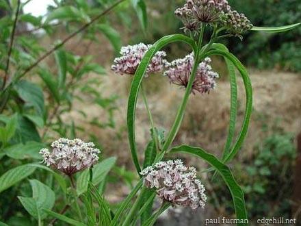 Blog, milkweed