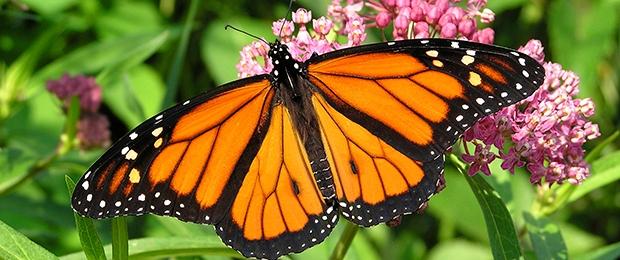 Blog, Monarch on milkweed
