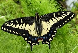Blog, anise swallowtail on fennel