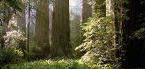 Blog, Redwood grove for Napa Master Gardener Column Blog