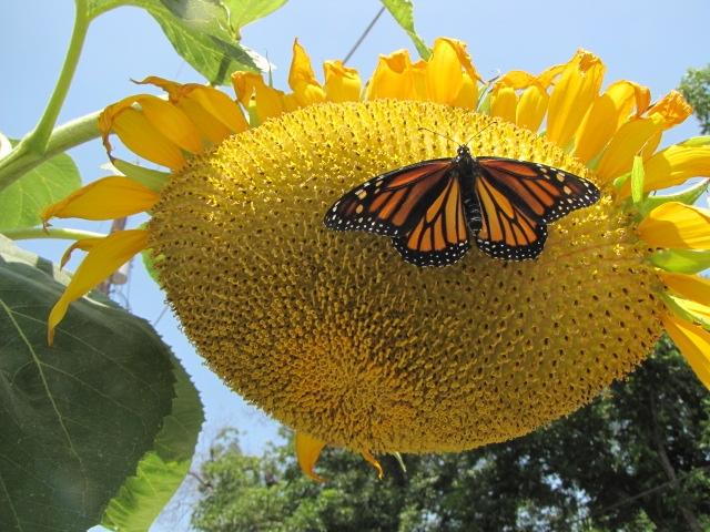 Blog, sunflower w butterfly