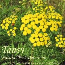 Blog, tansy