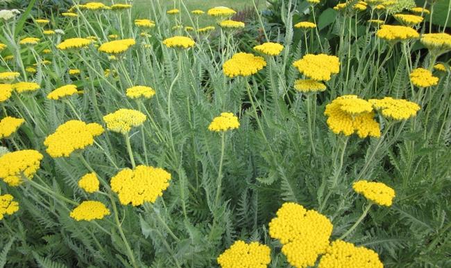 Blog, yellow yarrow