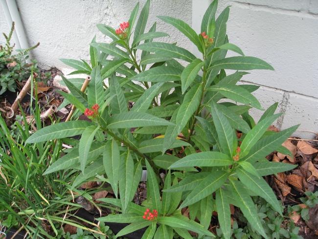 Blog, milkweed 2
