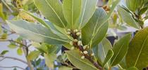 Blog, bay laurel for Napa Master Gardener Column Blog