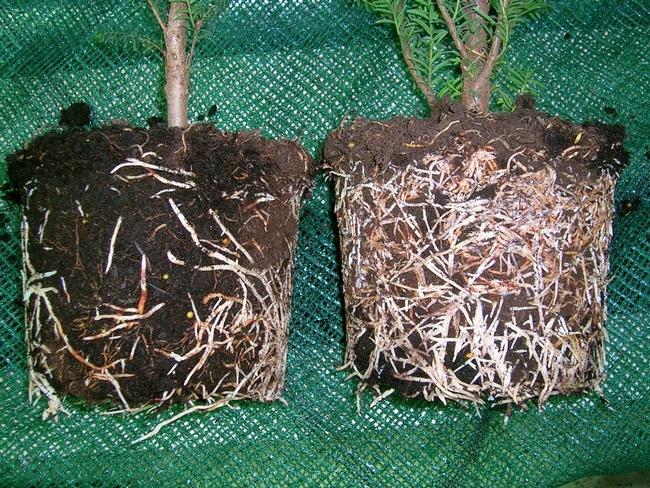 Blog, mycorrhizae 1