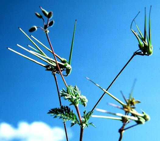 Redstem filaree, seed heads