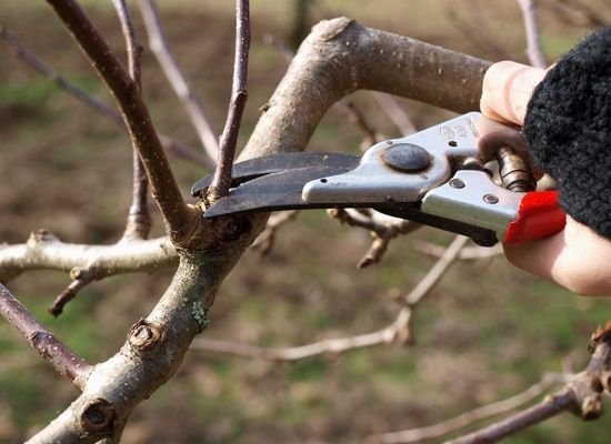 Blog, Fruit tree pruning