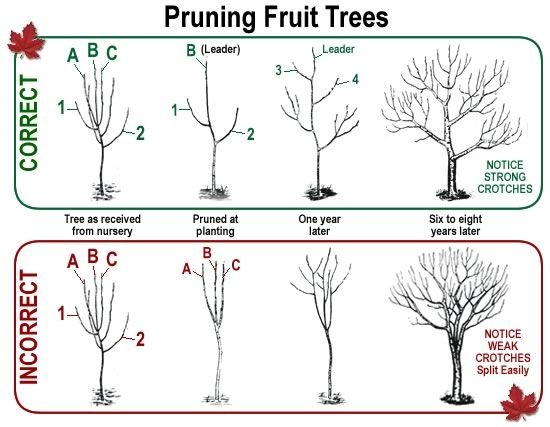 Blog, Fruit tree pruning 2