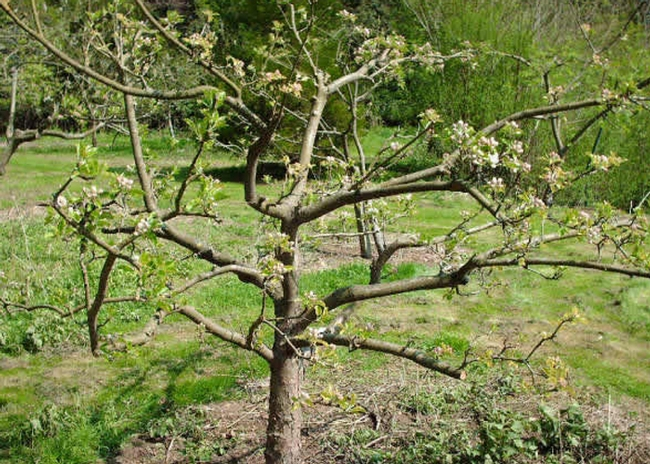 Blog, Fruit tree pruning 3