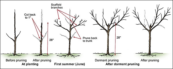 Blog, Fruit tree pruning 4