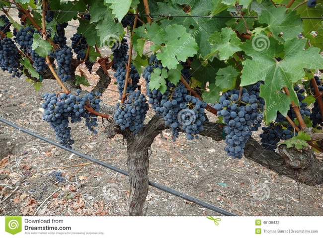 Healthy grapes, the result of vigilance and good management.