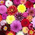 Blog, dahlia flowers