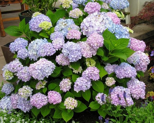 Blog, blue.pink mophead hydrangea