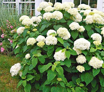 Blog, Annabelle hydrangea shrub