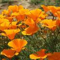Blog, california-poppy