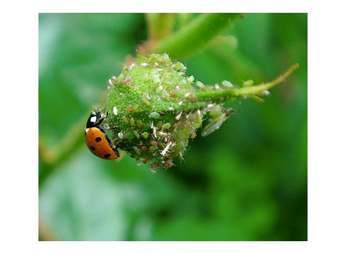 Aphids, with their nemesis, a lady beetle