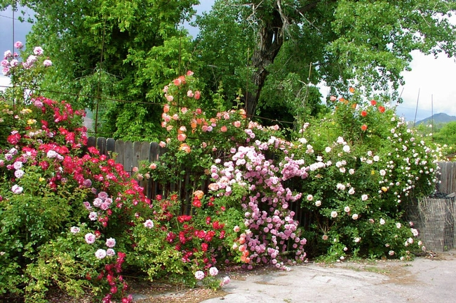 Winter rains and a riot of roses