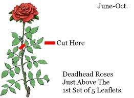 Deadhead spent blooms.