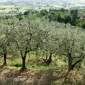 These olive trees fit right into the landscape.