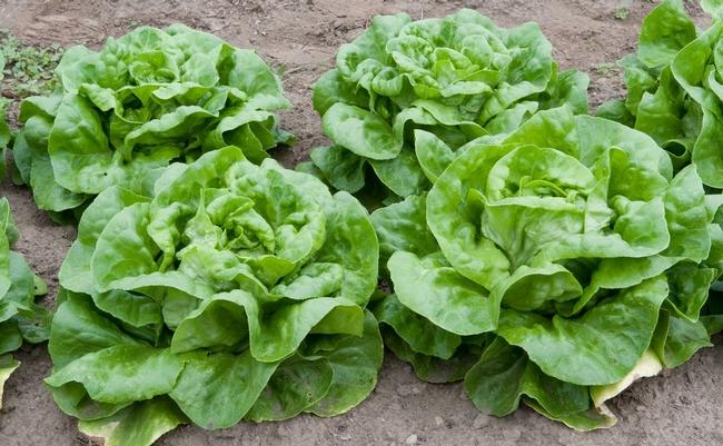 Besides Bibb lettuce, think Romaine, Oak leaf, Radicchio, Arugula . . .
