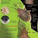 Brown marmorated stink bug, aka BMSB.