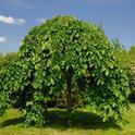 Mulberry tree, Moris alba pendula