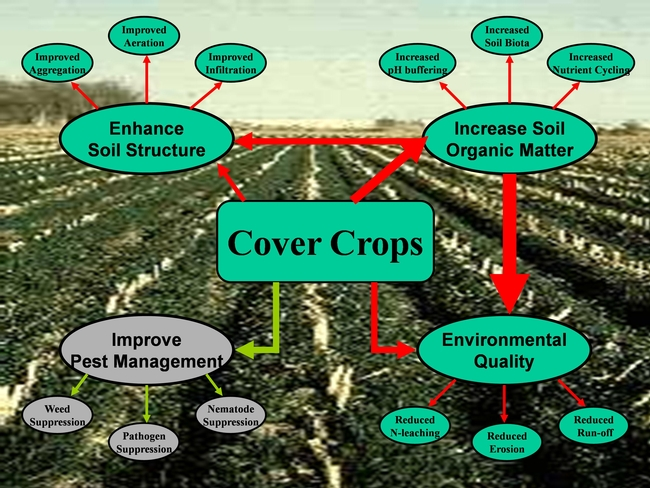 Cover crops--look at the benefits!