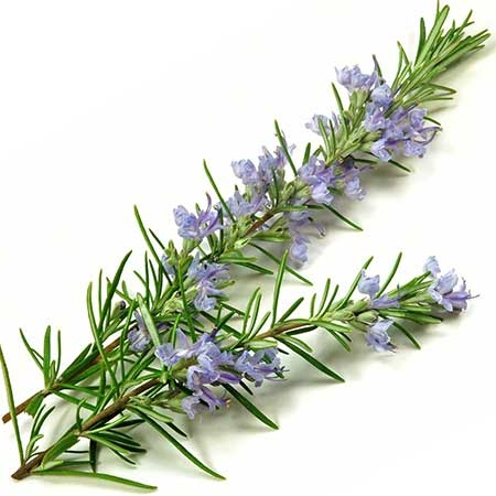 Rosemary, symbol for remembrance