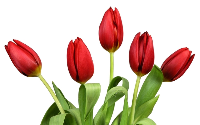 Red tulips, symbol of ardent love.
