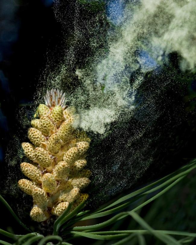 Pine pollen (Shutterstock)