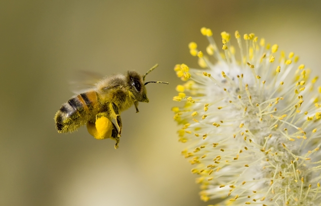 Bee with pollen  (Wonderopolis)