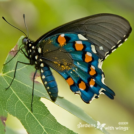 Butterfly with pollen (Gardens with Wings)
