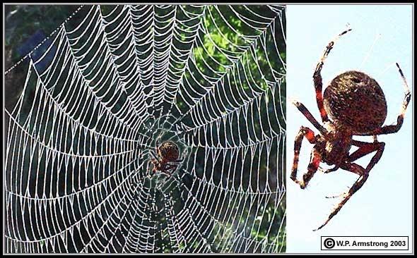 Orb weaver spider web (www2.palomar.edu)