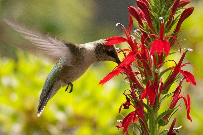 Hummingbird sipping nectar (The Spruce)