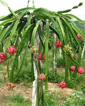 Dragonfruit plant (Heart Garden Nursery)