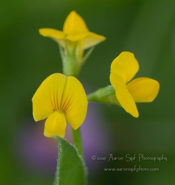 Scorpiurus muricatus flower (Aaron Sipf Photography)