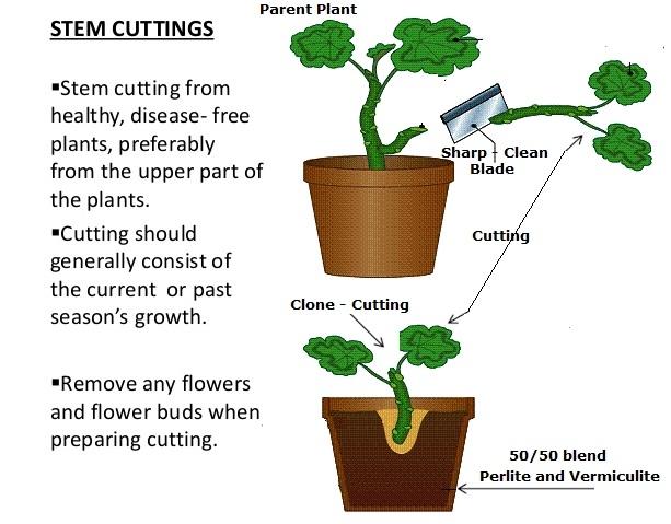 Propagation by cutting (Luv@garden)