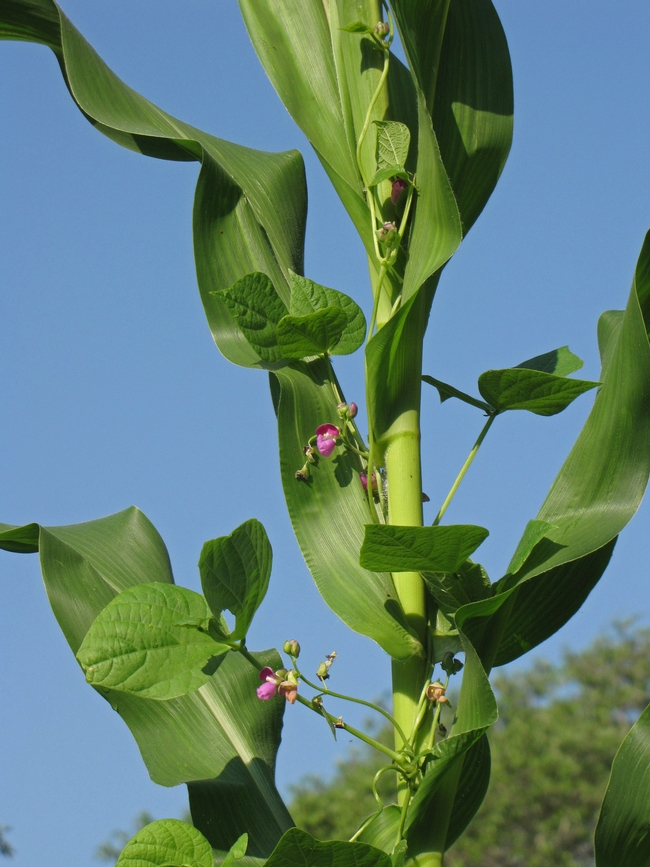 Cornstalks and beans (Four Strings Farm)