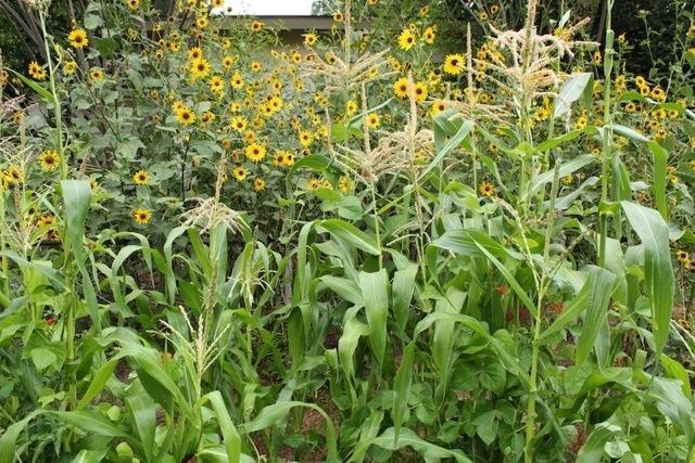 Sunflowers (LA Now, LA Times)